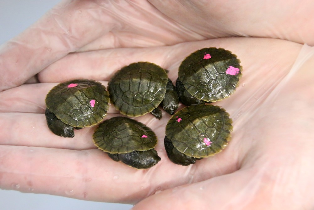bellinger river snapping turtle hatchlings