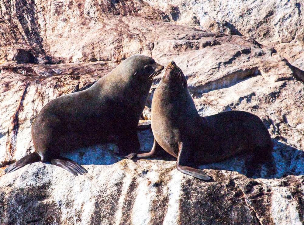 Australian fur seals Tasmania