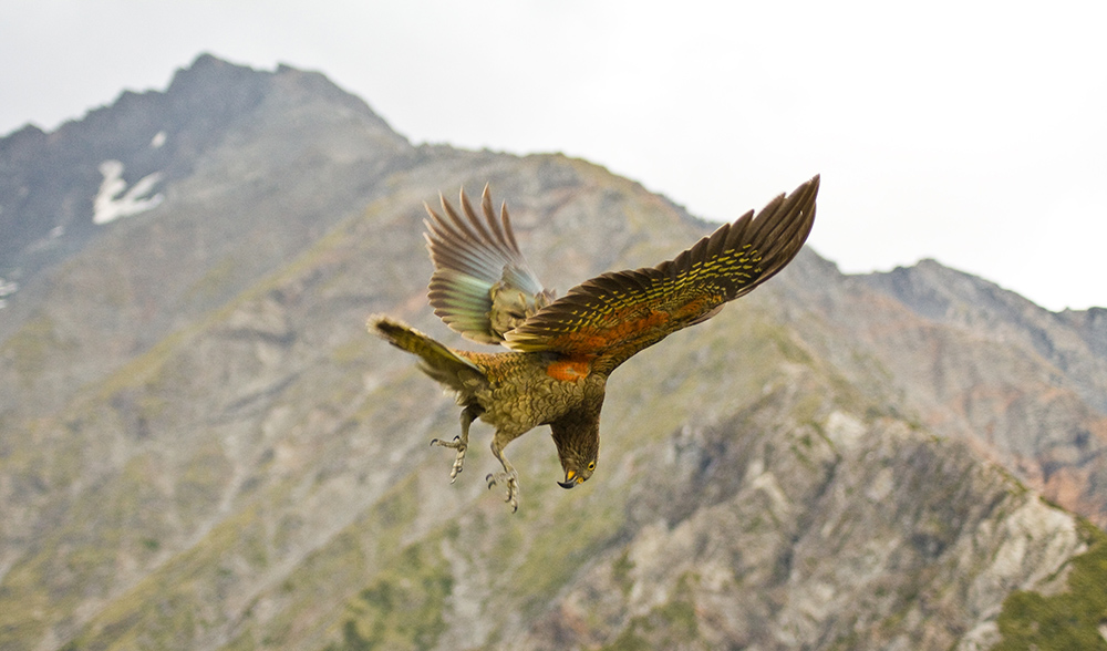 playful kea