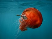 red bell jellyfish