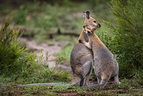 red necked wallabies