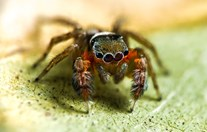 new spider discovered Australia