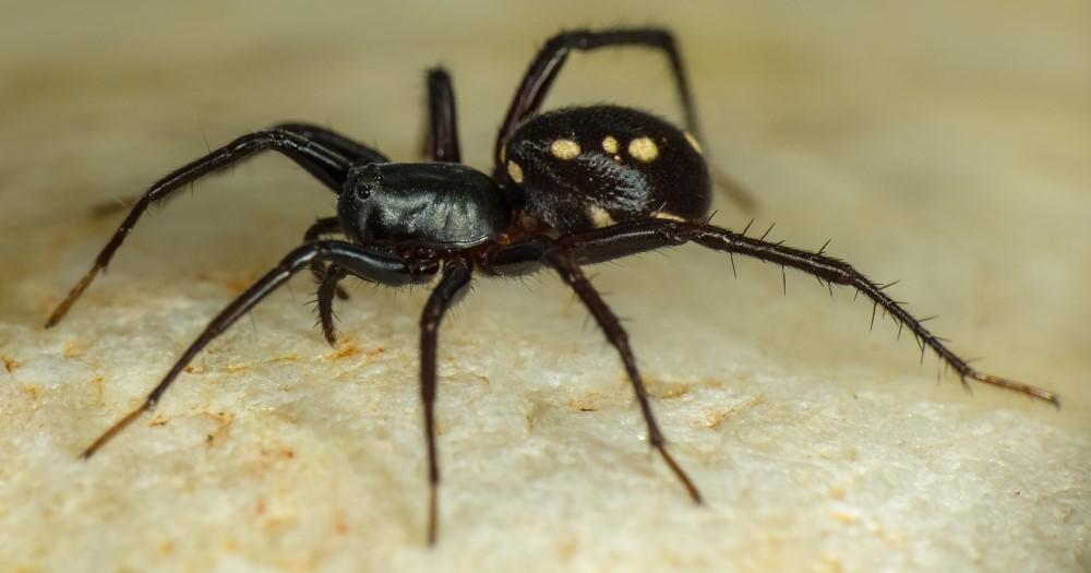 swift spider
