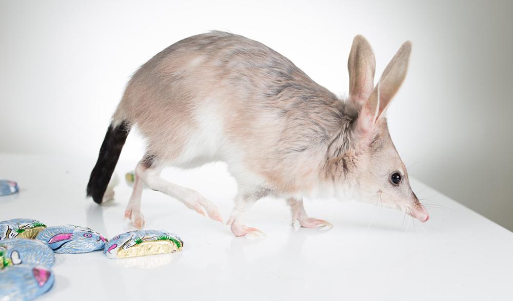 10 Reasons Aussies Should Celebrate Bilbies Not Bunnies At Easter