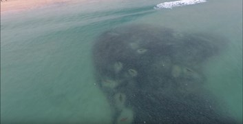 sharks feeding fingal bay nsw