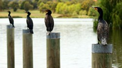 great cormorants