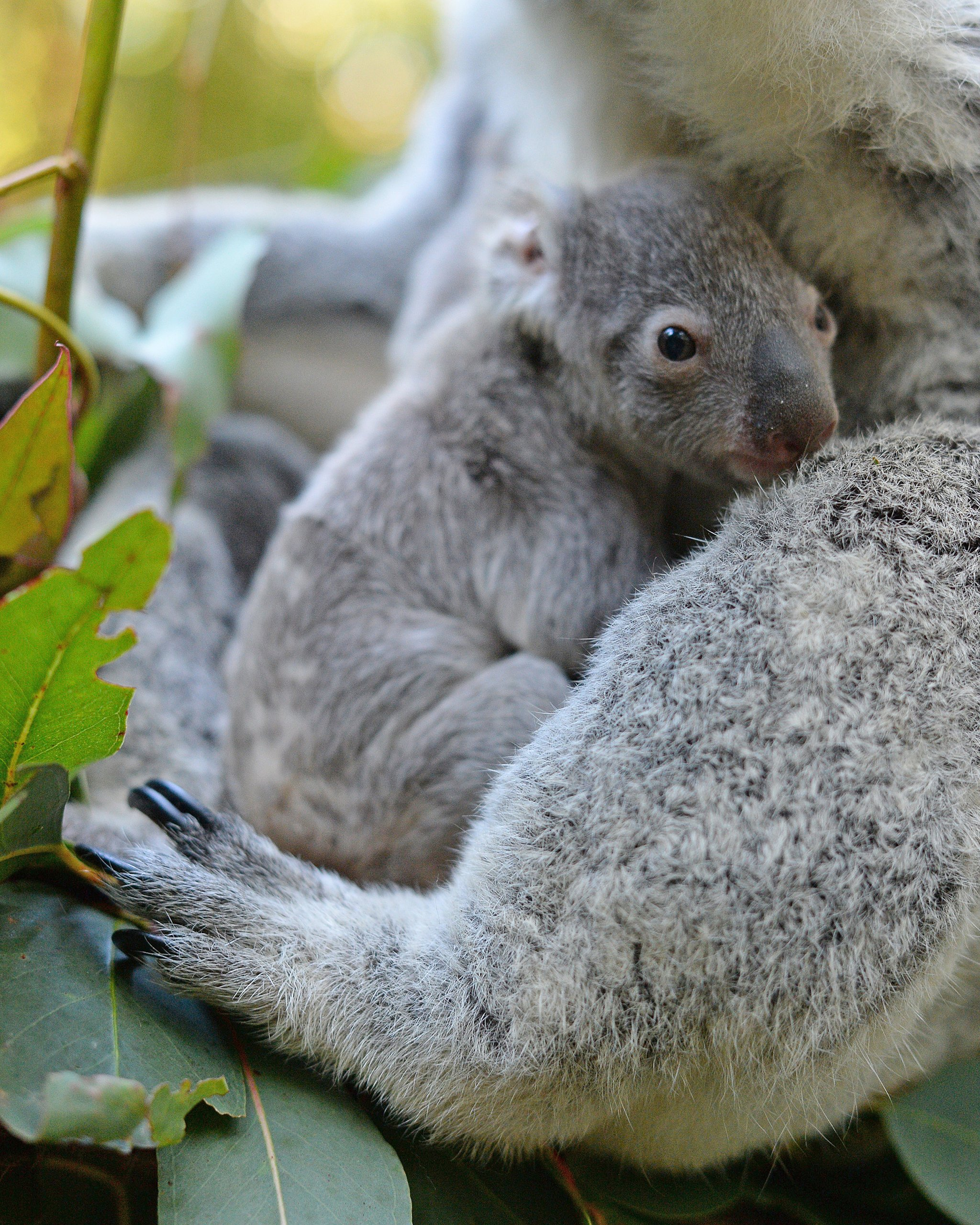 Patient Of The Week At Australia Zoo: Australia Zoo Introduces Its First Baby Koala For The