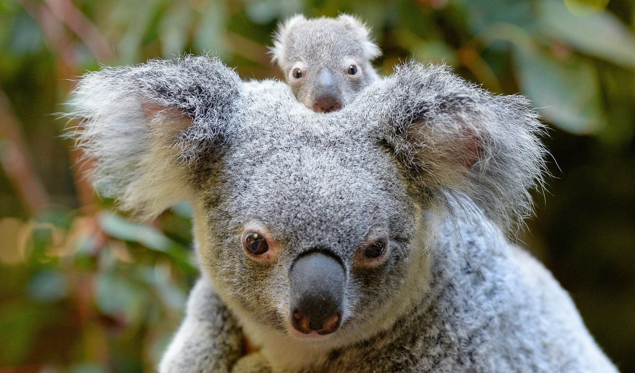 australia zoo introduces its first baby koala for the season australian geographic. Black Bedroom Furniture Sets. Home Design Ideas