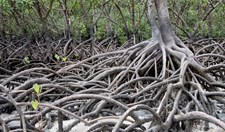 mangroves climate change