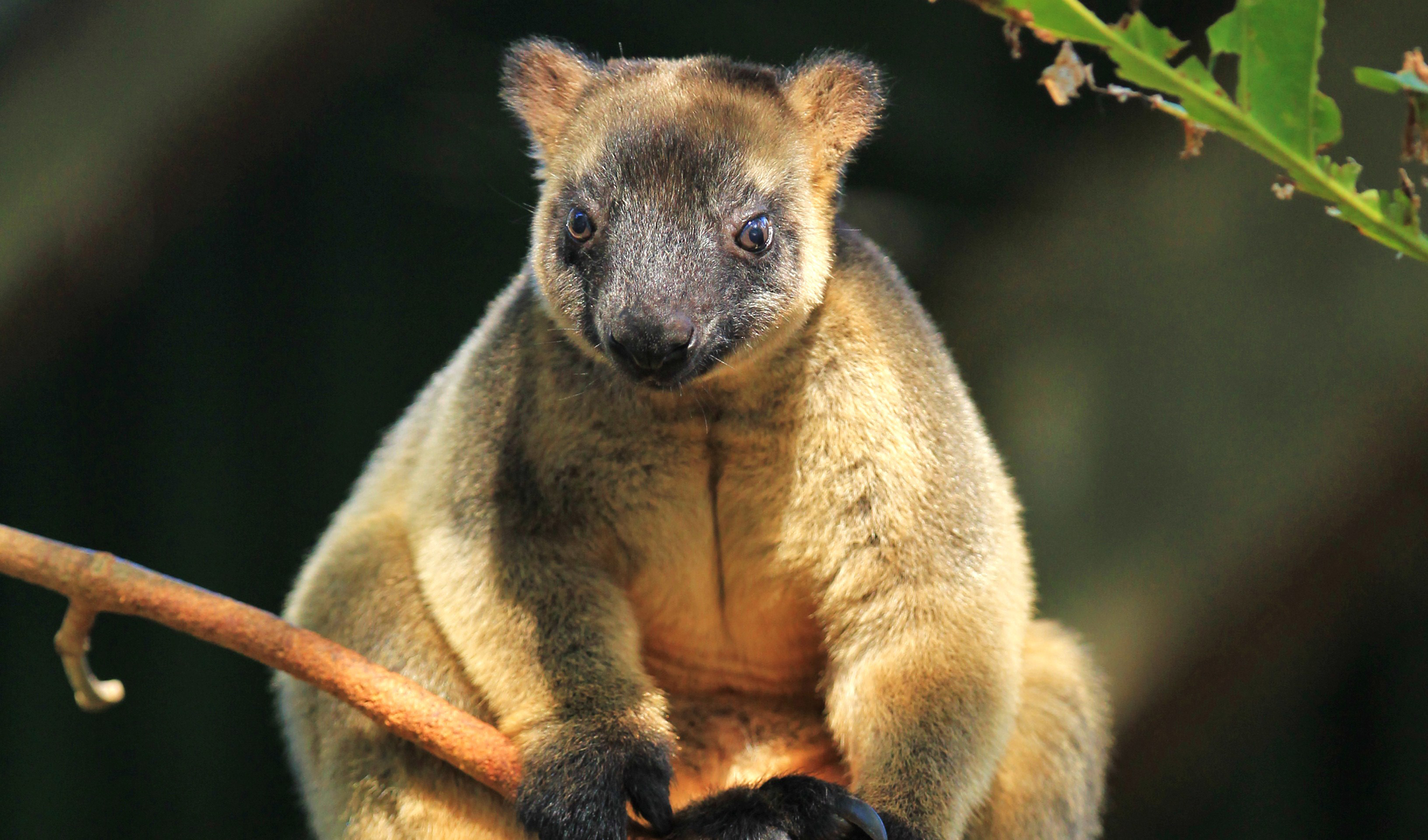 Given the current status of the Lumholtz's tree kangaroo, sustaining the wild population and reducing the threats is the most crucial component to ...