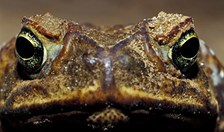 cane toad climate adaption