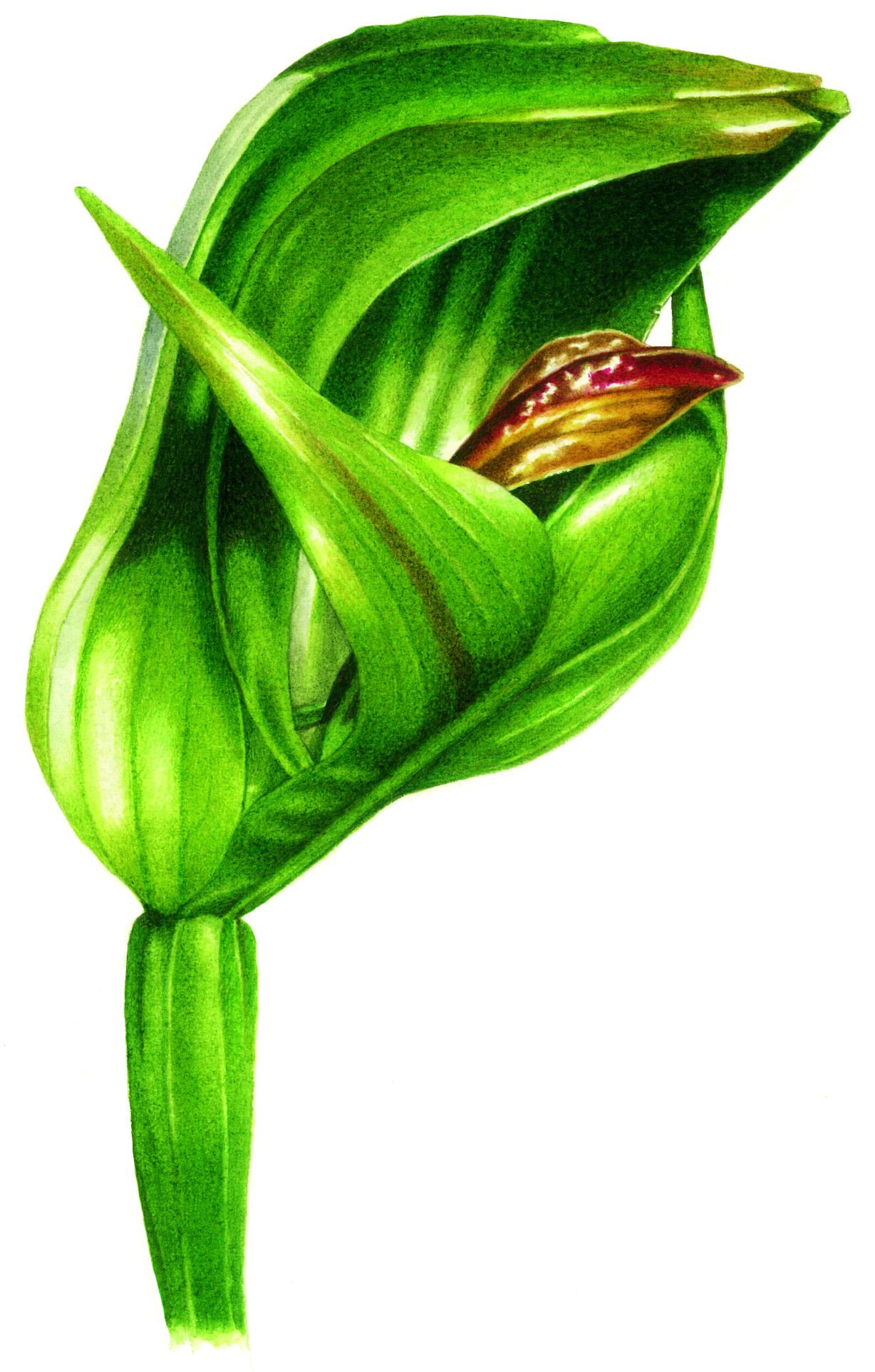 Australian orchids
