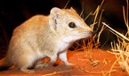 brush-tailed mulgara