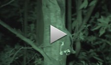 VIDEO: first video footage of a baby leady in the wild