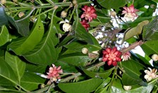 The Idiot Fruit Tree