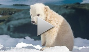 polar bear video
