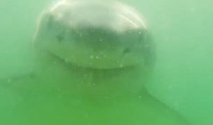 great white shark underwater camera