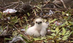 baby wedge-tailed eagle