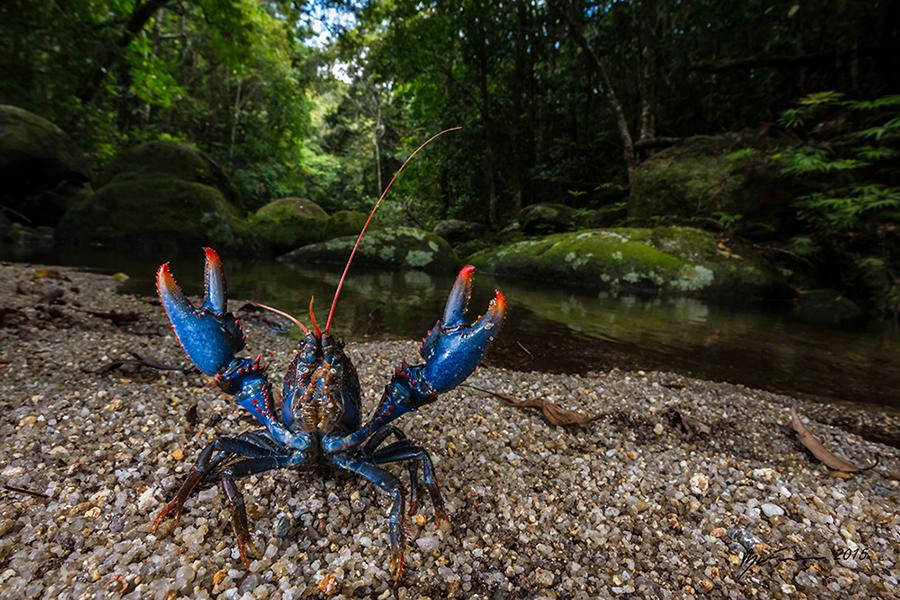 blue spiny crayfish