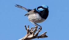 superb blue fairy-wrens