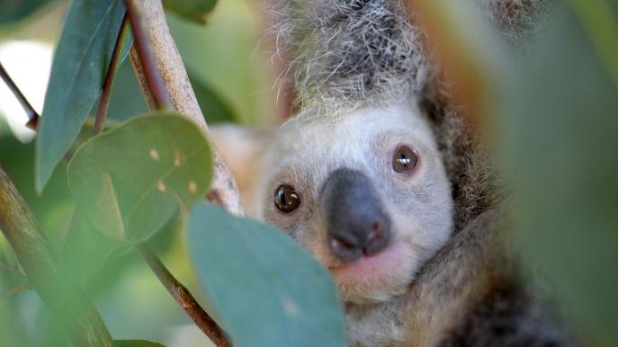 white koala