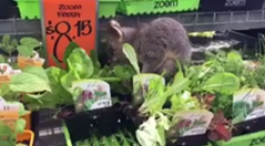 bunnings possum