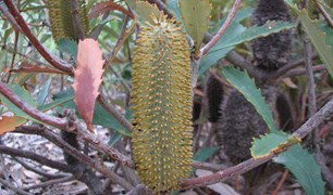 glasshouse banksia