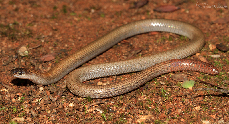 pink-tailed worm-lizard