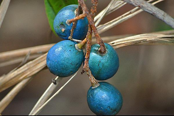 blue quandong