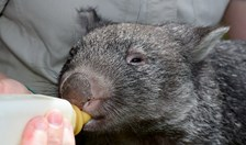 George the wombat