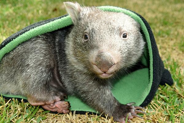 george the wombat
