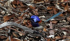 The fairy-wrens with chestnut wings