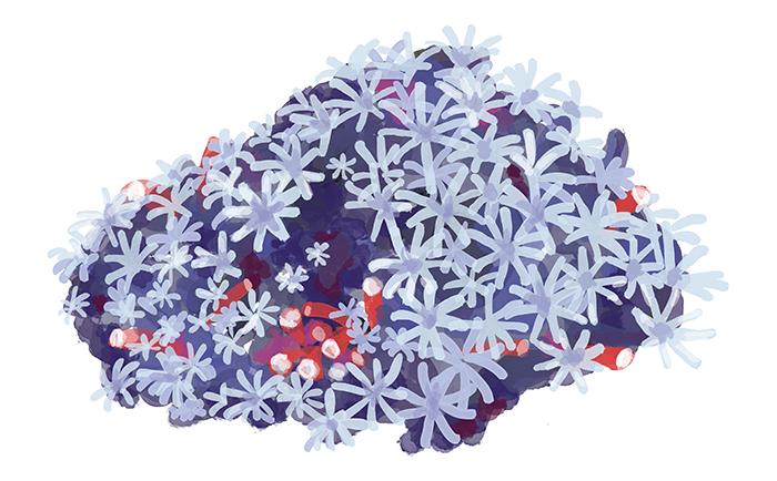 organ pipe coral