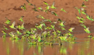 budgies Alice Springs