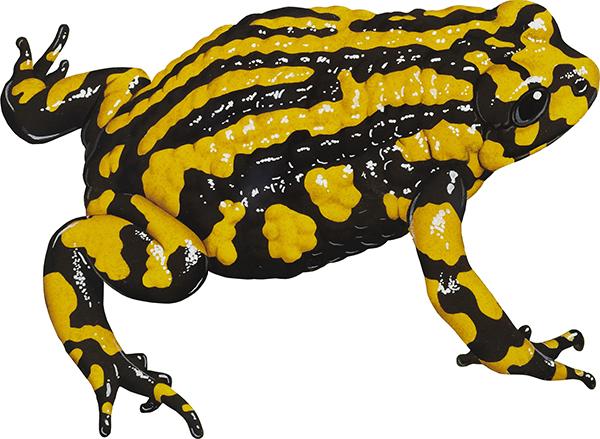 Corroboreee frog