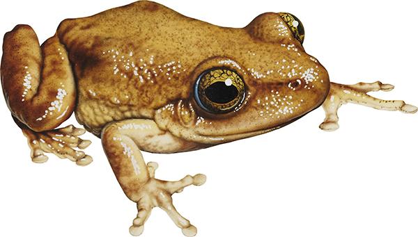 rockhole frog