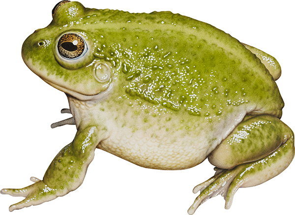 water-holding frog