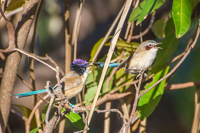 purple crowned fairy-wren