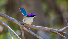 purple-crowned fairy-wren