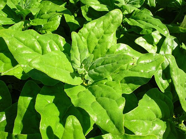 Australian spinach