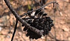 Burnt banksia
