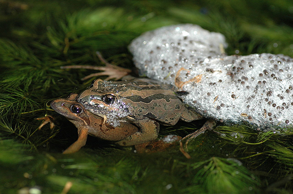 brown-striped frog