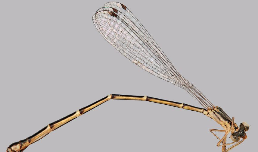 First new species of damselfly discovered in Australia in a Decade