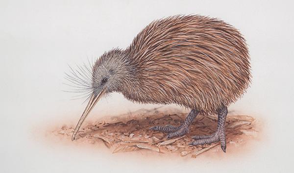 brown kiwi