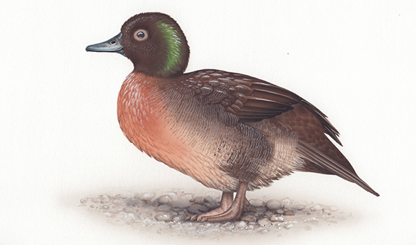 Campbell Island teal