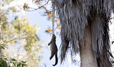 python dragging possum up tree