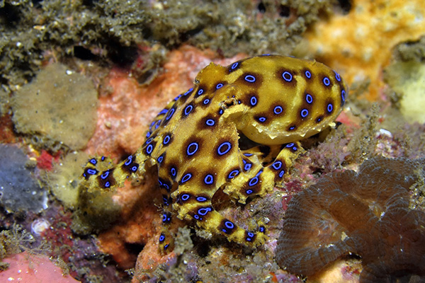 Blue Ringed Octopus Poison