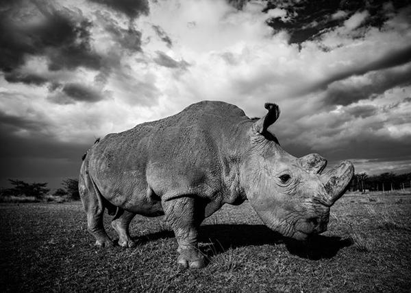 Robert Irwin rhino