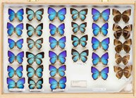 John Landy butterfly collection