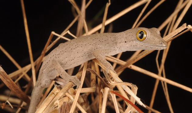 Golden eyed gecko discovered in wild and gruesome locale